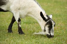 Free Goat Stock Photos - 8151183