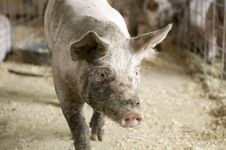 Free Pig Royalty Free Stock Photo - 8151235