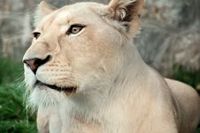 Free White Lion Stock Image - 8151751