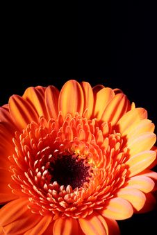 Free Gerbera Orange Royalty Free Stock Photography - 8152737
