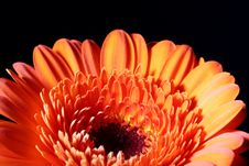 Free Gerbera Orange Black Stock Photo - 8152740