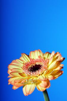 Free Gerbera Orange To Blue Royalty Free Stock Images - 8152949