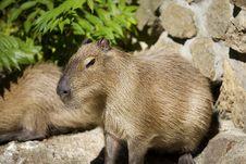 Free Capibara Stock Photos - 8154703