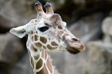 Free Portrait Of A Giraffe Royalty Free Stock Photography - 8154767
