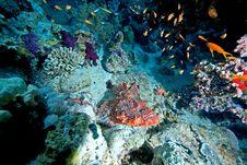 Free Couple Of Smallscale Scorpionfishes Stock Photo - 8156050