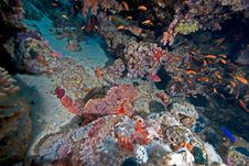 Free Couple Of Smallscale Scorpionfishes Stock Images - 8156364