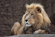 Free Lion Resting Royalty Free Stock Photo - 8156455