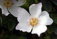 Free Wild Flower Royalty Free Stock Photo - 8156595
