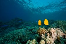 Free Masked Butterflyfish Stock Images - 8157994