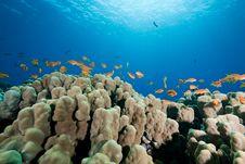Free Oman Anthias, Coral And Ocean Stock Photo - 8158220