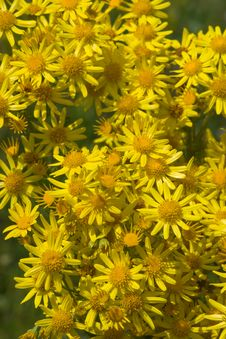 Free Yellow Camomile Backgound Stock Images - 8159714