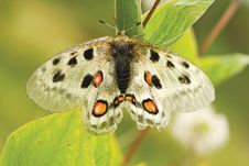 Free Nomion Butterfly Stock Photography - 8159722