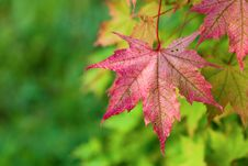 Free Maple Leaves Royalty Free Stock Photography - 8159747