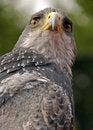Free Bird Of Prey 2 Stock Photo - 8169090