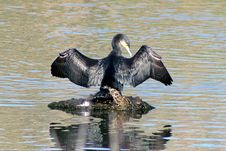 Free Cormorant Royalty Free Stock Images - 8160809