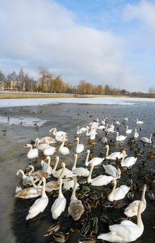 Free Swans Royalty Free Stock Photo - 8161365