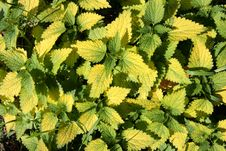 Free Detail Of Nettles Royalty Free Stock Image - 8162096