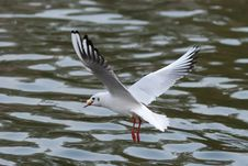 Free Sea Gull Stock Photos - 8162123