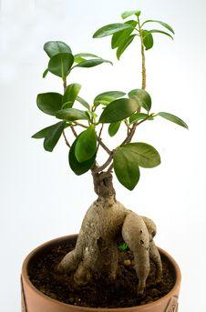 Free Bonsai Stock Image - 8163941