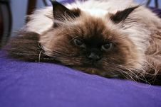 Free Resting Cat Royalty Free Stock Photography - 8165267