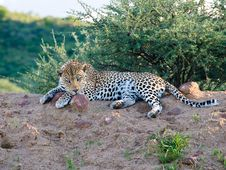 Leopard With Menacing Stare, Namibia Royalty Free Stock Photography