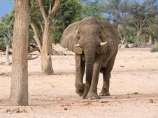 Free Elephant Charging Forward Royalty Free Stock Photo - 8166905