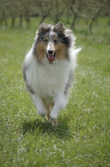 Free Colley Running In The Grass Royalty Free Stock Photo - 8167375