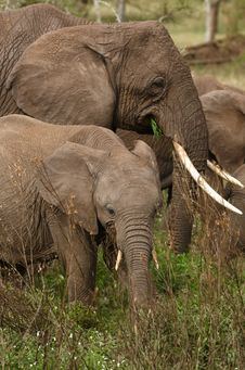 Free Elephant`s Family Stock Photo - 8168950