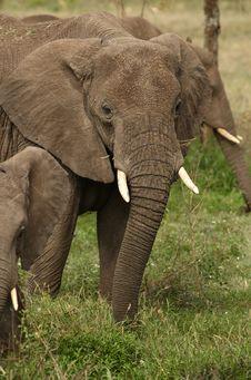 Free Elephant`s Family Stock Photo - 8168960