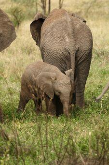 Free Elephant`s Family Stock Image - 8168971