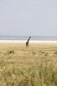 Free Alone Africans Giraffe Royalty Free Stock Image - 8169056