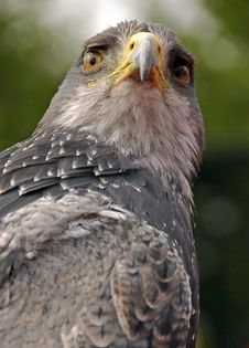 Free Bird Of Prey 2 Stock Photo - 8169090