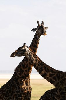 Free African Giraffes Family Stock Images - 8169134