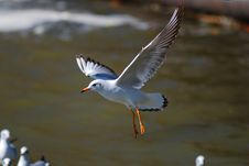 Free Sea Gull Stock Image - 8169151