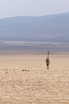 Free Alone Africans Giraffe Royalty Free Stock Photography - 8169157