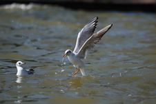 Free Sea Gull Stock Image - 8169181