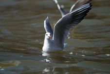Free Sea Gull Stock Photos - 8169183