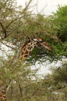 Free African Giraffe`s Head Royalty Free Stock Image - 8169206