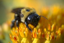 Free Bumblegee On Butterfly Milkweed Royalty Free Stock Photography - 8169487