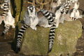 Free Group Of Ring-tailed Lemurs Sitting On A Rock Royalty Free Stock Images - 8172109