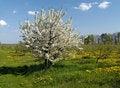 Free Apple Tree Blossom Royalty Free Stock Photography - 8172557