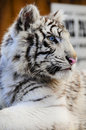 Free Close Up Of A White Tiger Cub Royalty Free Stock Images - 8178699