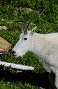 Free Mountain Goat Royalty Free Stock Photo - 8178965