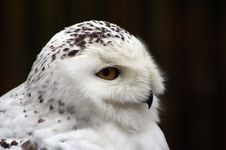 Free Snowy Owl Nyctea Scandiaca Royalty Free Stock Images - 8170419