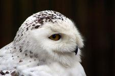 Free Snowy Owl Nyctea Scandiaca Royalty Free Stock Images - 8170419