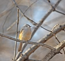Free Tufted Titmouse Stock Image - 8170661