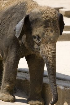 Free Baby Elephant Stock Photos - 8170683