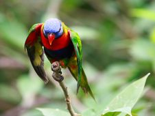Free Rainbow Lorikeet Royalty Free Stock Images - 8170749