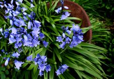 Free Bluebells In Terracotta Pot Royalty Free Stock Photos - 8170808