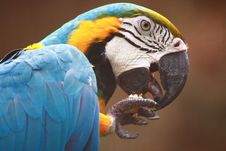 Blue-and-gold Macaw Stock Image